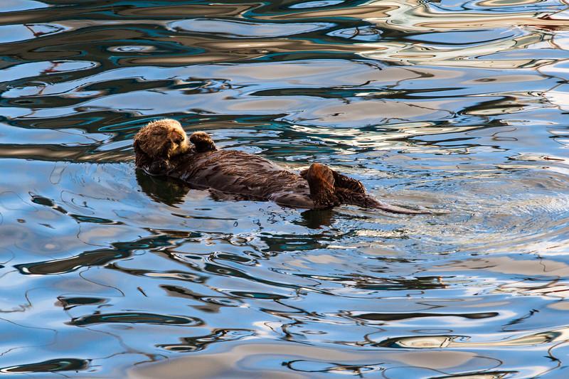 Sea Otter in Morro Bay