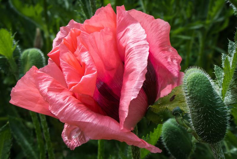 Scottish poppy
