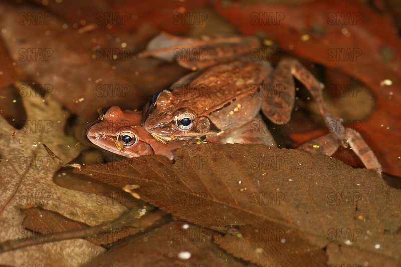 Wood Frogs (Rana sylvatica) mating.
