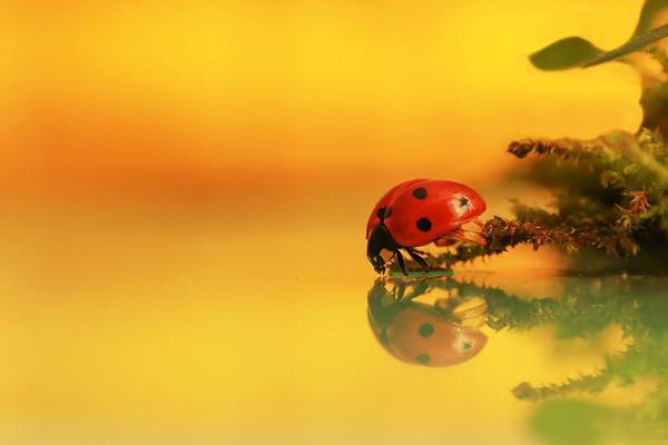 Ladybugs - Coccinelles