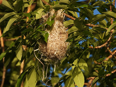 20200618 Baltimore Oriole Nest