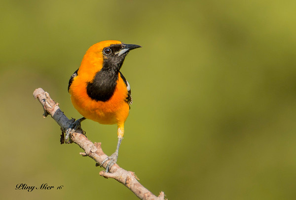 Hooded Oriole 5_DWL8577.jpg