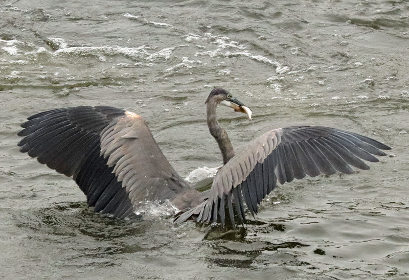 Great blue heron with fish 1