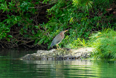 Green Heron, Lake Petit.