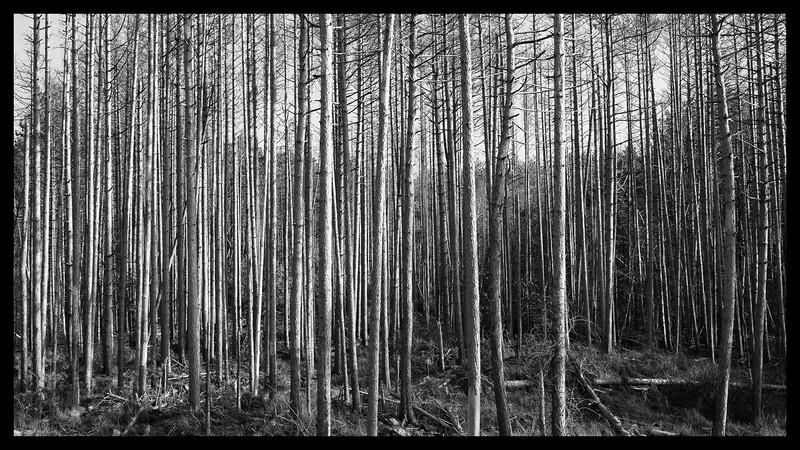 Quabbin Trees