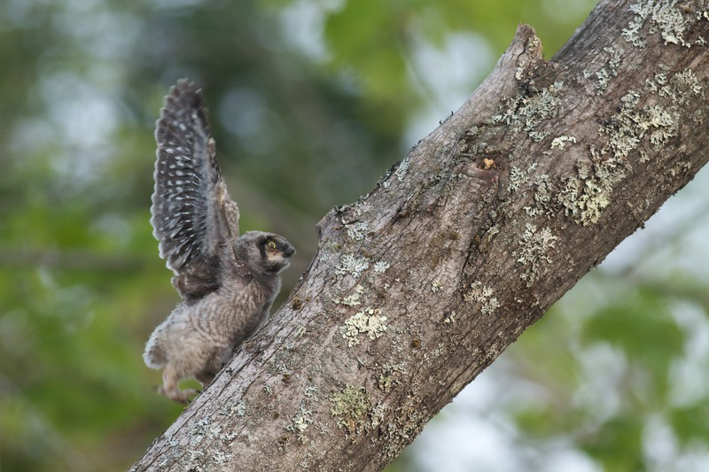 Northern Hawk Owl baby juvenile Owl Ave Sax-Zim Bog MN IMG_1226.jpg