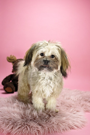 Roxy the Shih Tzu Pomeranian Mix (9 Months old)