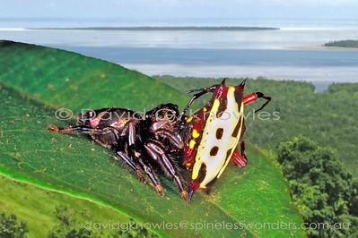 ARACHNIDS New Guinea Araneae (Spiders)