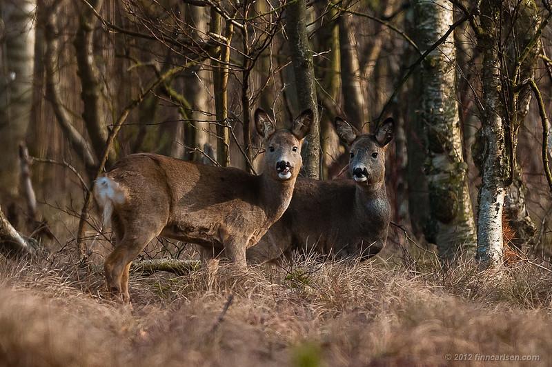 Rådyr (Capreolus capreolus - Roe Deer), to hunner, Lyngby Åmose - marts 2012