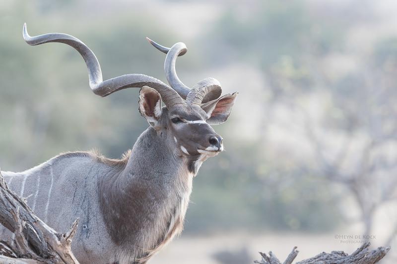 Greater Kudu, Mashatu GR, Botswana, May 2017-5.jpg