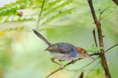 Ashy Tailorbird [Orthotomus ruficeps]