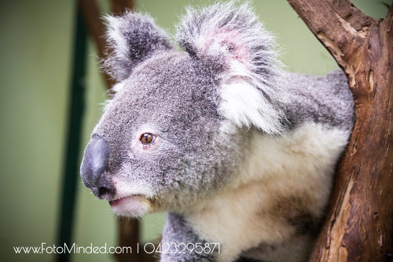 If i am given a chance to choose next life, i would choose Koala and wish to be born in Australia. It spends most of its time sleeping and waking hours eating.  Its hard to see him awake, somehow I was there during feeding time !