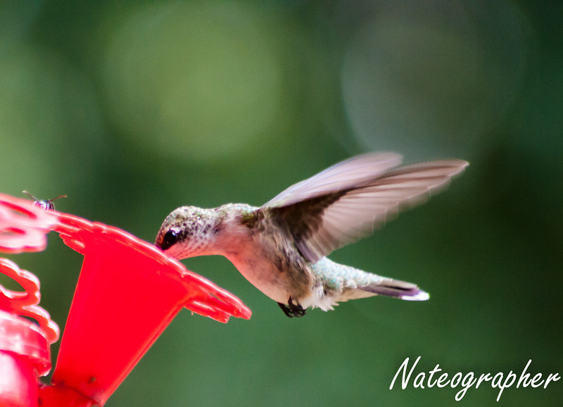 HummingBirds-4188.jpg