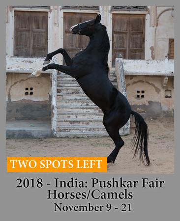 11-09-18 Marwari Horses and Camels