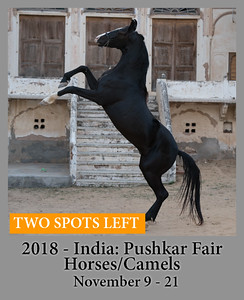 11-09-18 Marwari Horses and Camels