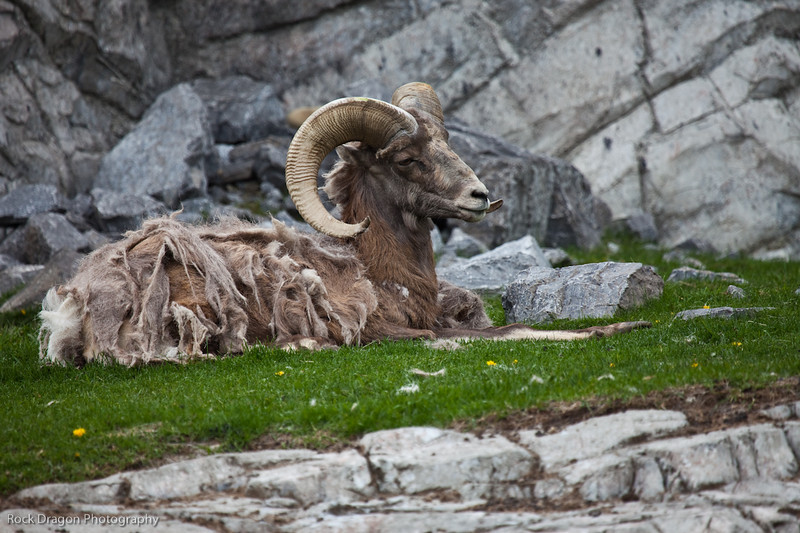 Big Horn Sheep, Calgary Zoo