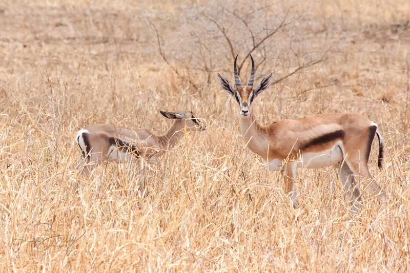 Thomson Gazelle (Eudorcas thomsonii)