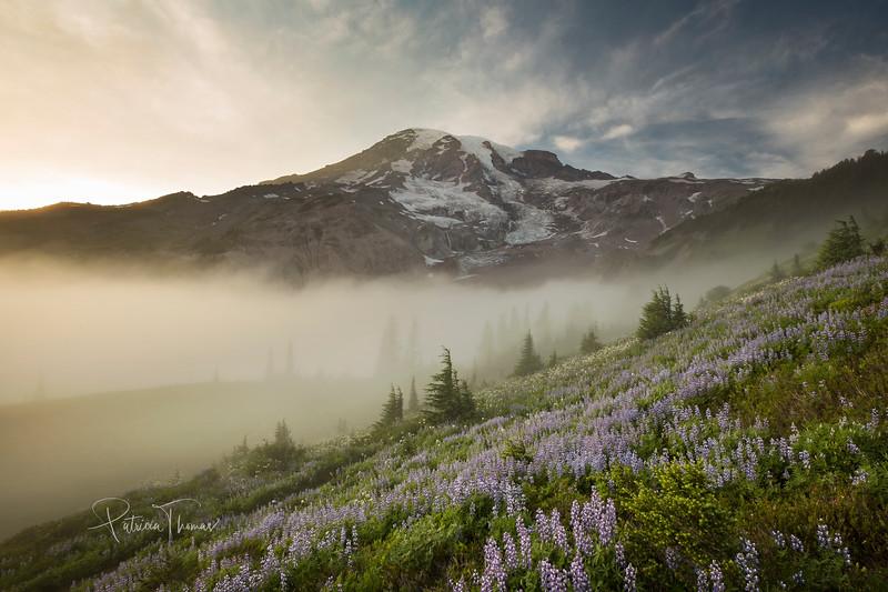 Rainiter lupines fog large wm.jpg