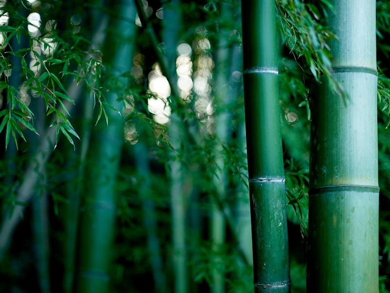 Bamboo thicket in my back yard