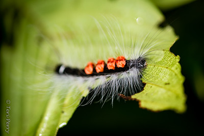 INSECT - hairy caterpilar-2381