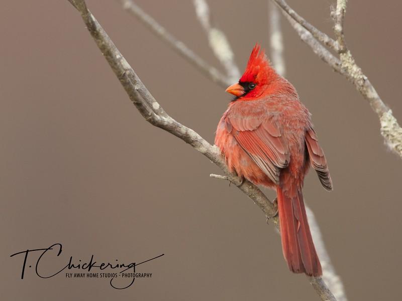 Cardinal Male-1505771686216.jpg