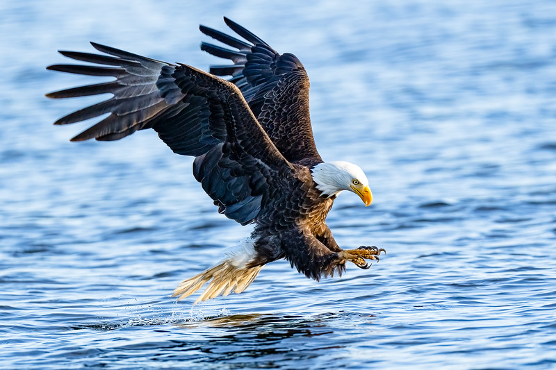Bald Eagle about to catch fish