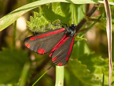 Cinnabar_ moth (Tyria jacobaeae)