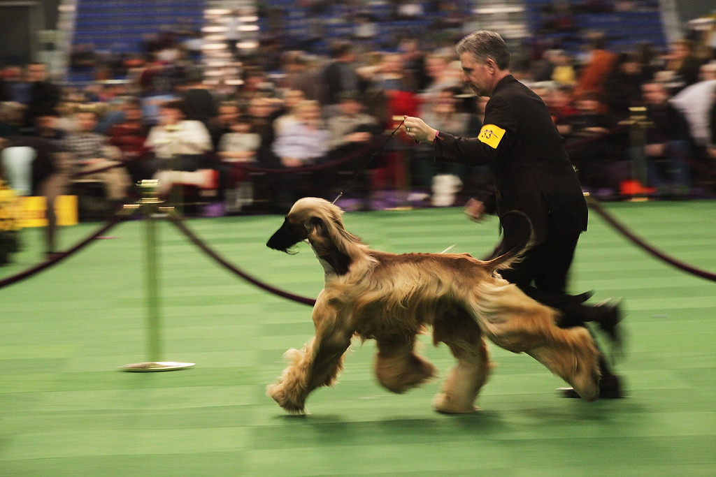 ". NEW YORK, NY - FEBRUARY 16:  An Afghan runs in the ring at the at the Westminster Kennel Club Dog Show on February 16, 2015 in New York City. The show, which is in its 139th year and is called the second-longest continuously running sporting event in the United States, includes 192 dog breeds and draws nearly 3,000 global competitors. This year\'s event begins on Monday and will conclude with the awarding of ""Best of Show\"" on Tuesday night.  (Photo by Spencer Platt/Getty Images) *** BESTPIX ***"