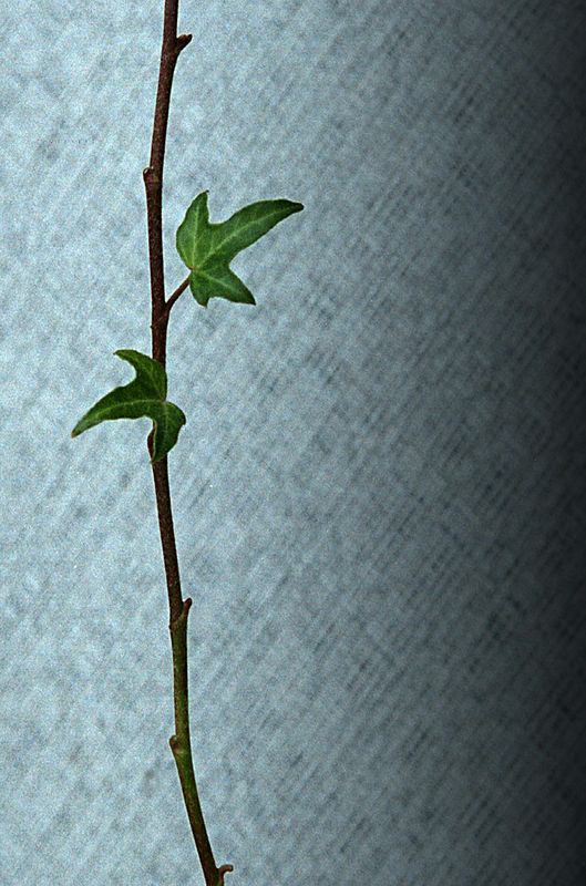 Ivy-19.1.jpg