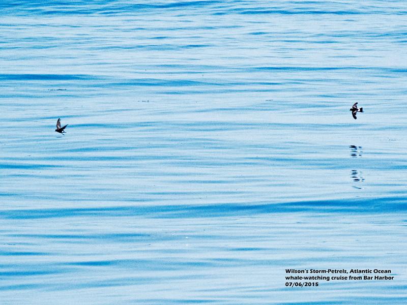 a706 905 20150725_88 3T 2 Wilson's Storm-Petrels Atlantic from Bar Harbor 0706 1109.jpg