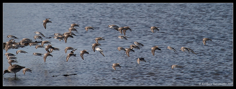 Western Sandpipers in flight, Robb Field, San Diego River, San Diego County, California, April 2009