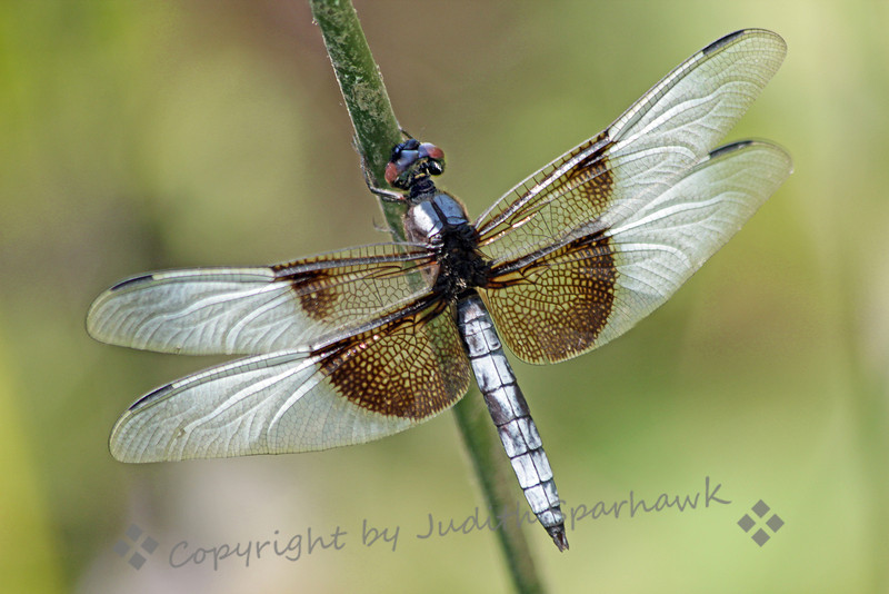 Male Widow Skimmer ~ Another shot of this dragonfly, taken in August at Lost Lake, near Fresno, California.