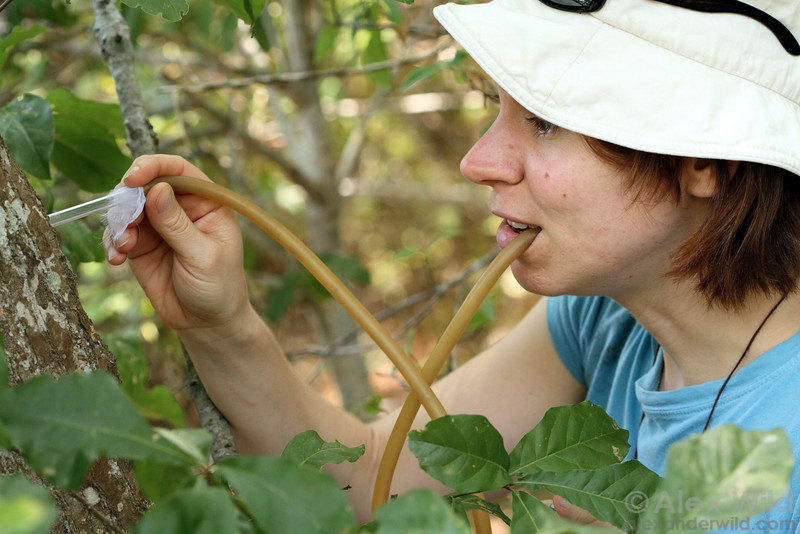 Bonnie Blaimer uses an aspirator to collect Crematogaster for phylogenetic study.