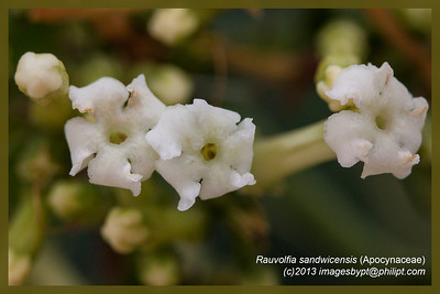 Rauvolfia sandwicensis (Apocynaceae)