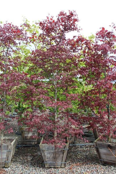 Acer palmatum 'Bloodgood' Specimen, 2 in, #24 box.JPG