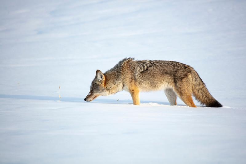 387A0113 Coyote ruff up.jpg