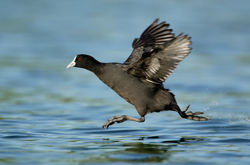 Coot in a hurry MASTER.jpg