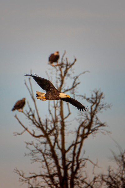 12.22.20 - Madison County: Bald Eagles