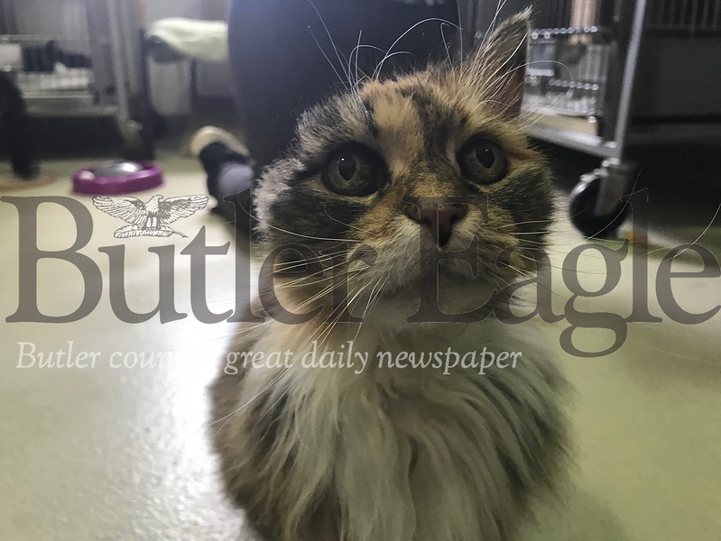 Lillian, a 10-year-old domestic medium hair mix, had to have her ear removed after an ear infection.
