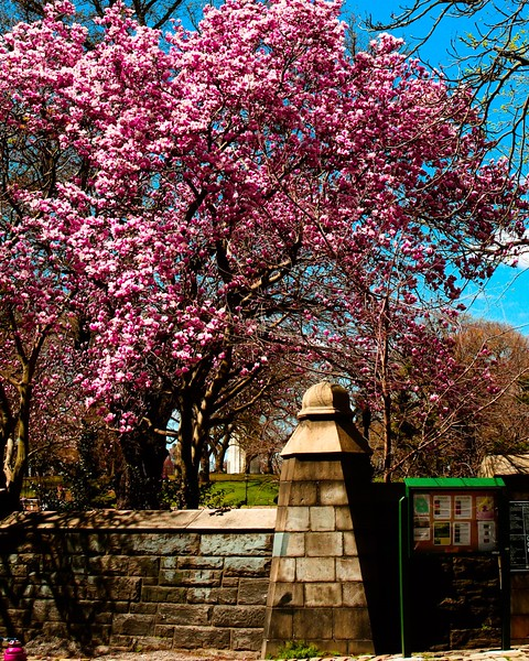 101 (4-19-19) Cherry Blossum 1904.jpg
