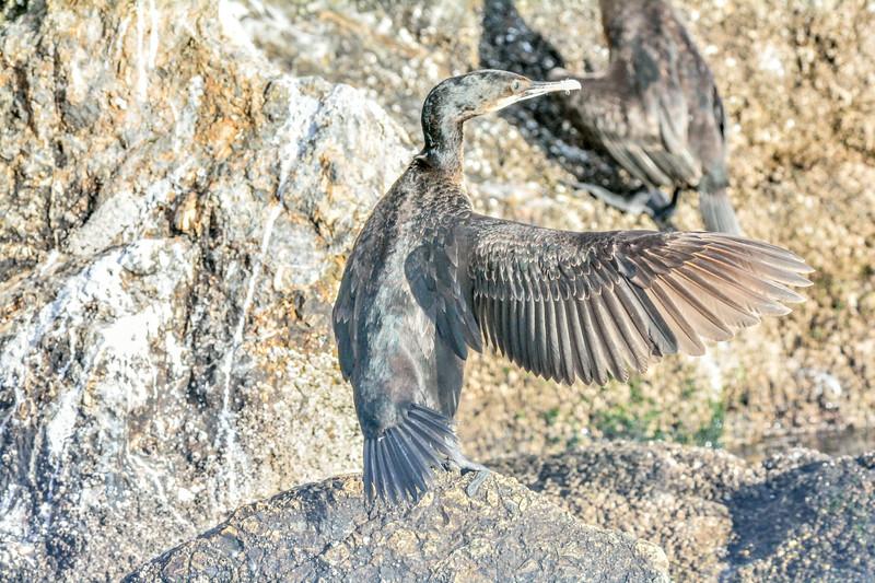 -_Brandt's Cormorant - 2013-11-27_150 Monterey.jpg