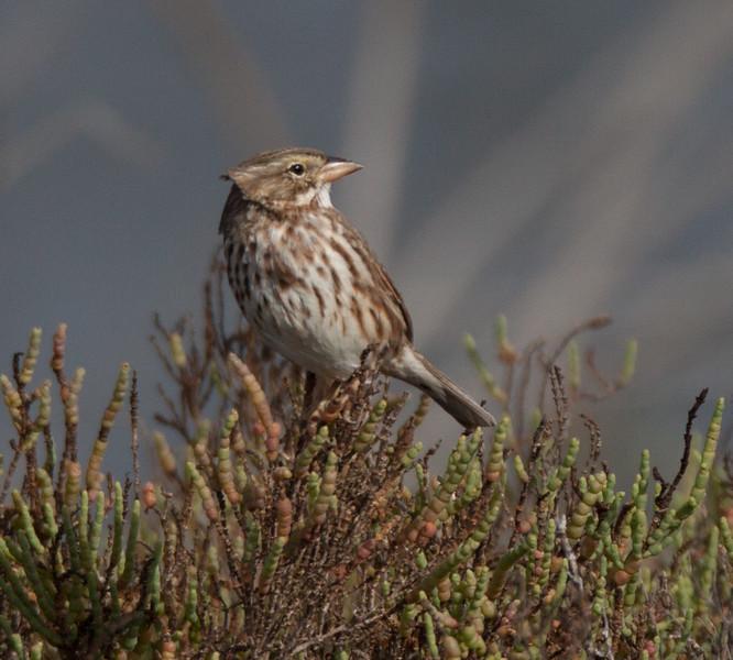 Large-billed Savannah Sparrow San Elijo Lagoon 2015 11 26 15-1.CR2