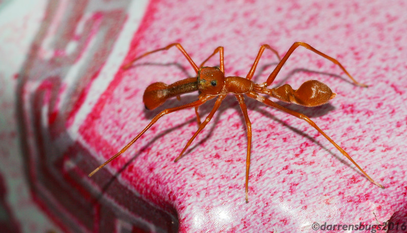 Ant-mimicking spider from Cambodia. The extent of their mimicry is remarkable: The front pair of legs are raised in front of the body like antennae (which spiders lack), which also tricks the viewer into believing it has six legs instead of eight. Additionally, the cephalothorax is oddly shaped to give the appearance of three body segments, although spiders only have two. Mimicking ants confers several benefits; many predators find ants distasteful, and are fooled into avoiding what would be (presumably) a tasty spider snack. This appearance also helps them remain inconspicuous if they hunt among the ants they imitate.