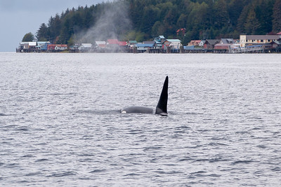 Orca  (Killer Whale) Traveling Past Town October 2014, Cynthia Meyer, Tenakee Springs, Alaska P1410461