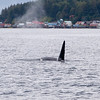 Orca  (Killer Whale) Traveling Past Town<br /> October 2014, Cynthia Meyer, Tenakee Springs, Alaska<br /> P1410461