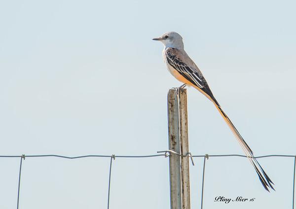 Scissor-tailed Flycatcher_DWL7726.jpg