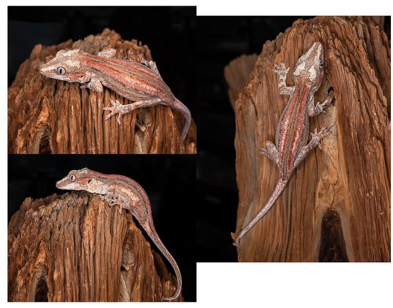 Gargoyle Gecko #2003, $200