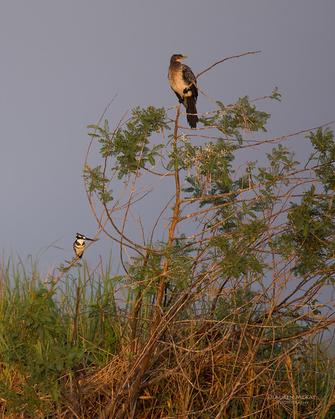 Reed Cormorant & Pied Kingfisher, Chobe River, NAM, Oct 2016-1.jpg