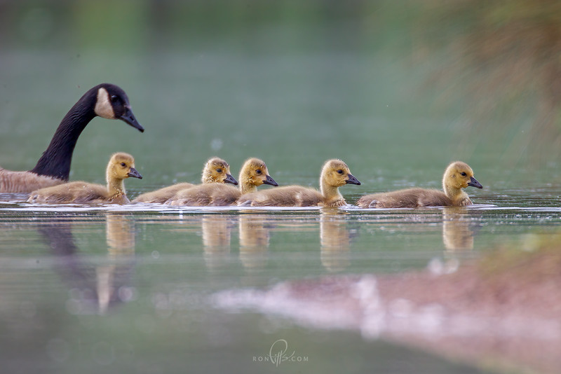 sm 3 goslings_M4D5428.jpg