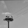 Storks nesting atop a utility pole near Salamanca, Spain.